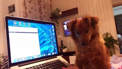 Un chien chante en entendant le bruit d'un l'ordinateur !