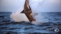 AMAZING SHARK BREACHES CAUGHT ON VIDEO! - SHARK WEEK - Discovery Channel Sharks Animals Nature