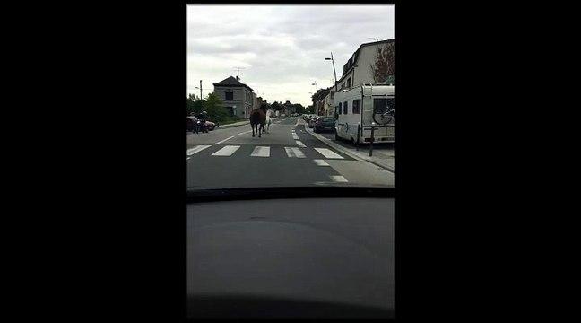 Amiens : des chevaux s'échappent sur la route