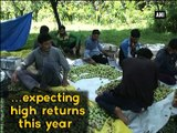 Plum cultivation boosts in Kashmir, growers satisfied