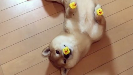 Dog With Perfect Rubber Ducky Balance