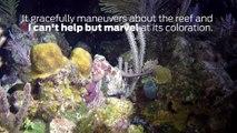 Scuba Diving Encounters: Caribbean Reef Octopus in Roatan, Honduras
