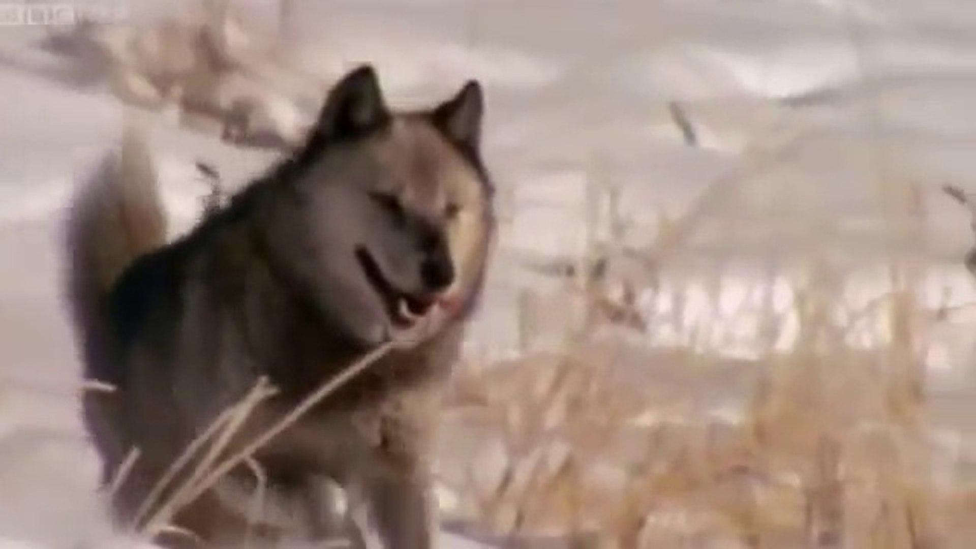 WOLF PACK - Discovery Animals Nature Documentaries (full documentary)