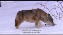 SIBERIA:  THE COLDEST AND WILDEST PLACE ON EARTH - ANIMAL PLANET - Discovery Animals Nature Documentaries (full documentary)