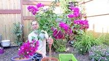 Conseil bougainvilliers fleurs jardinage Comment à Il transplantation