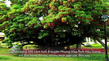 Cây lộc vừng 300 tuổi trổ đầy hoa