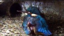 Live aus der Eisvogel Bruthoehle (3446)