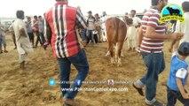 Cow Qurbani _ 2017 _ 2018 _ Karachi SOhrab Goth _ SURTI CATTLE FARM