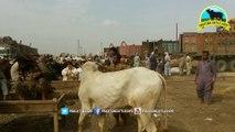 Cow mandi _ 2017 _ 2018 _ Karachi Sohrab Goth _ Unloading Qurbani Karachi