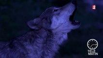 Nuits Blanches - Nuit blanche avec les loups du Gévaudan…