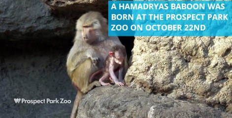 New Hamadryas baby Baboon makes its public debut