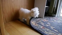 Cute Maltese puppy dog barking and chewing on rug funny videos things Plainfield puppies bark
