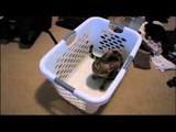Cats Love Laundry Baskets and They Cannot Resist Them Linus Cat Tips