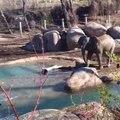 Ce bébé éléphant se bat contre une oie sauvage au zoo.. trop mignon