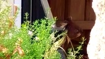 Stealthy koala escapes escapes enclosed garden
