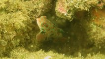 Dragonet Fish in Bali