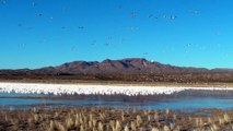 Snow Geese Take Flight in Bosque del Apache