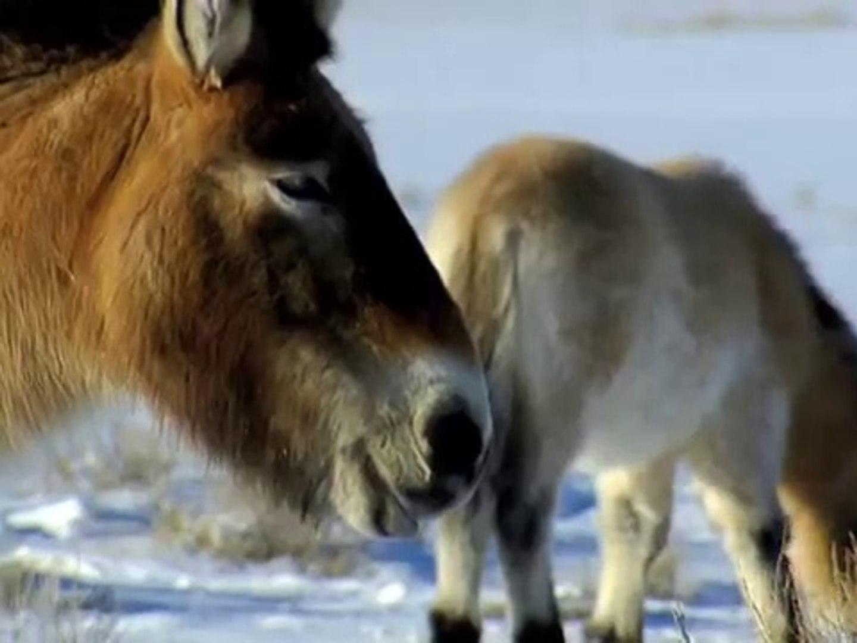 WILD HORSES RETURN TO CHINA - Discovery Animals Nature Documentaries (full documentary)