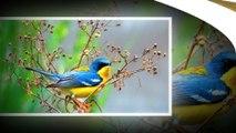 Nightingale birds - Talent singers in the birds world !