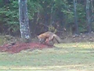 More wild foxes in Nova Scotia