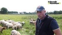 VIDEO. Les moutons préfèrent l'herbe royale de Chambord.