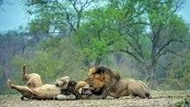 Big gorilla , Lion vs Sư tử ⇝ EXTREME CRAZY ANIMAL FIGHTS To DEATH