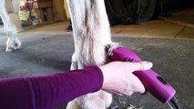 How to tidy up your horses fetlocks and feathers you dont have to clip the leg!