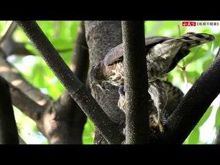 《鳥類不簡單》【食】鳳頭蒼鷹覓食