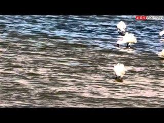 《鳥類不簡單》【食】黑面琵鷺覓食