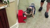 Ce petit cochon domestique apprend à jouer du piano... FAIL LOL