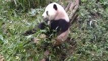Quelques chutes de pandas
