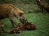 ANIMAL PLANET - THE MOST EXTREME:  KILLERS - Discovery Animals Nature (full documentary episode)