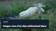 Images rares d'un élan entièrement blanc, filmé en Suède
