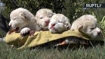 Lion cubs in Multan, Pakistan - ملتان_شیرنی_نے_دیے_بچے