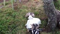 Ce bébé chèvre mordille l'oreille de son frère qui veut dormir... Trop mignon !