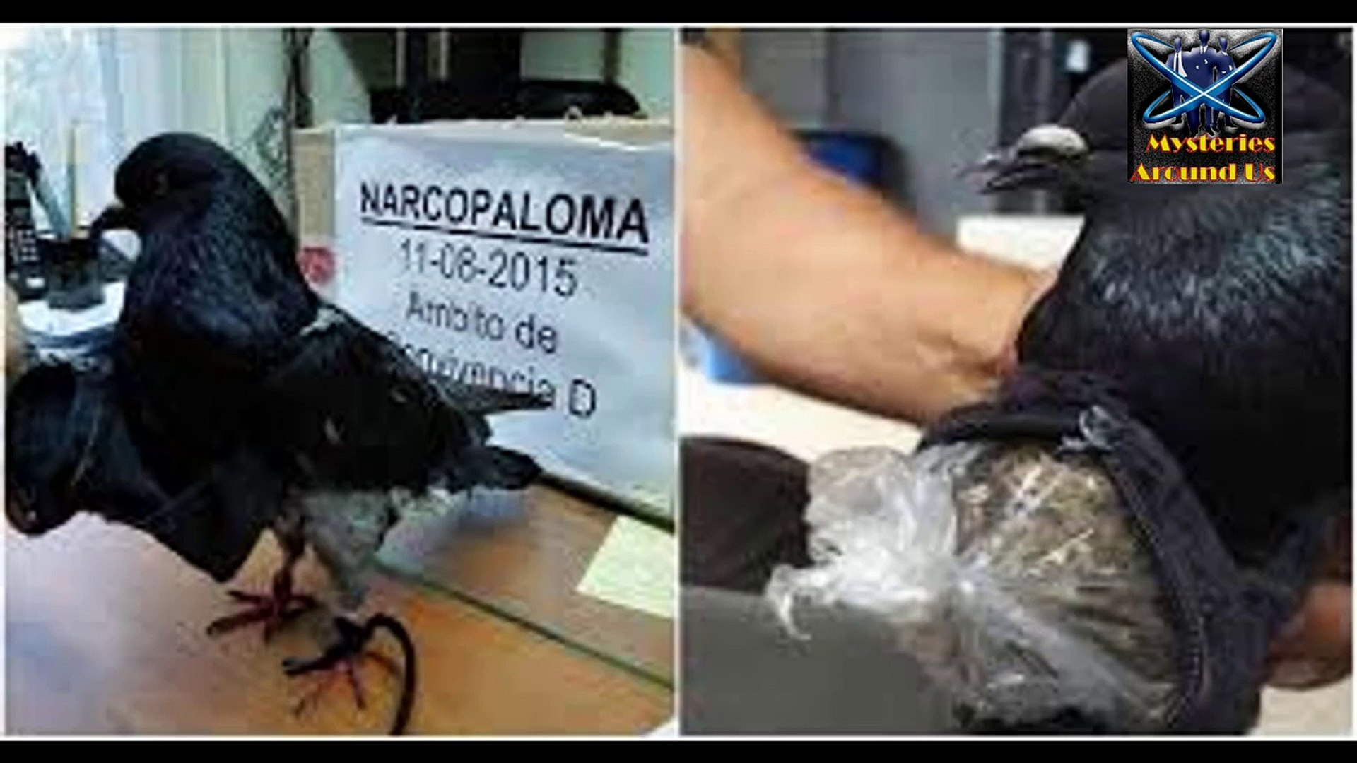 pigeon caught red handed for smuggling drugs,pigeon caught with backpack of drugs(720p)