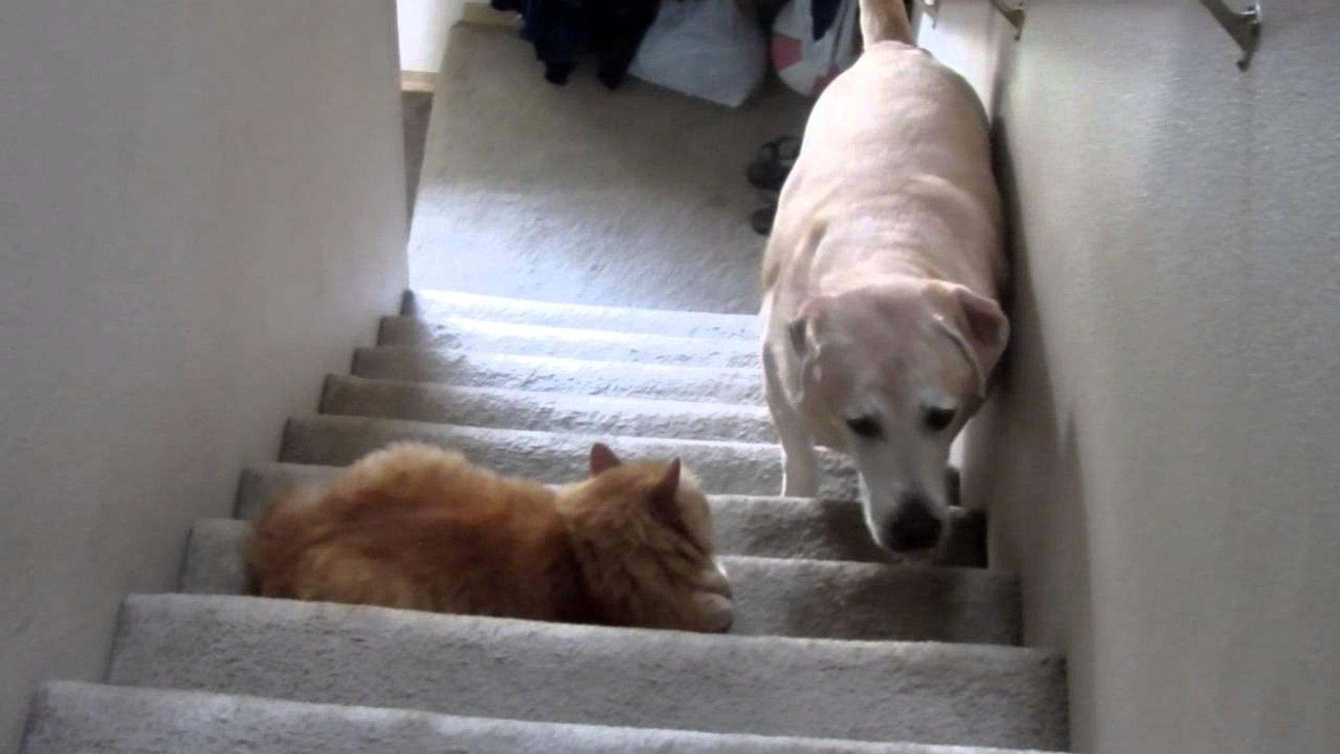 Dog Scared Of Cats - Funny Dog and Cat funny cats, cats, dog, dog scared of cat, funny dog and cat,