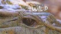 Born to be Wild: Philippine crocodile sighting sa Isabela