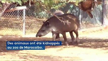 Au Venezuela, des animaux d'un zoo kidnappés pour être mangés