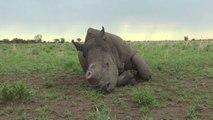 [Actualité]  En Afrique du Sud, un éleveur veut vendre de la corne de rhinocéros