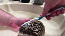 Nettoyage d'un hérisson : à la brosse à dents !! Trop mignon :)