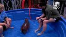 Premature Baby Hippo Fiona Gets a Bigger Pool Cincinnati Zoo
