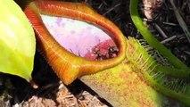 Mangé vivant géant fourmis manger carnivore plante et carnivore plante mange Précédent