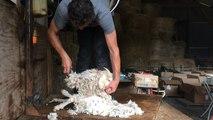 Les chèvres angora tondues pour la fabrication du mohair