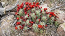 Desert Botanical Garden Research: Cactus conservation from global to local