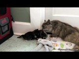 Kittens Adorably Try to Escape Bath Time