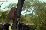 Such kehte hain itfaq a barkat ha ---cows na mill kar lion ko mar dala