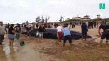Des centaines de personnes se mobilisent pour sauver une baleine échouée