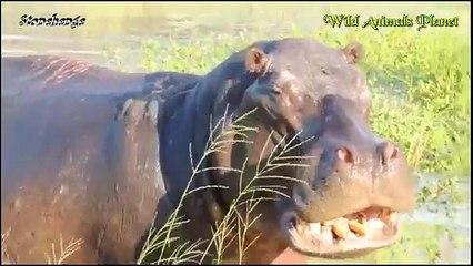 Amazing Hippo Attacks!!! Hippo vs Lion, Zebra, Wild Dogs, Buffalo, Crocodile, Car, Boat