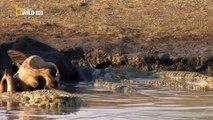 Wild Animals Documentary - Crocodile Attacks Discovery Documentary Animal HD-QwdVhfQcecw_clip5